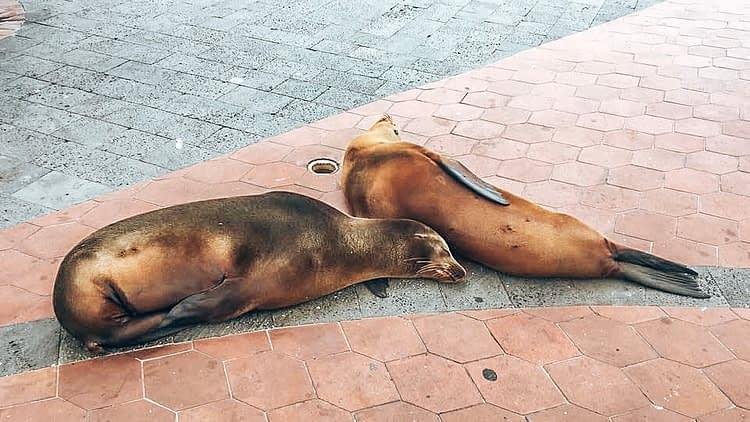 Two sea lions resting on the pavement