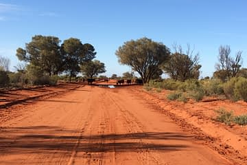 Red Dirt Road with cows crossing in Outback Australia