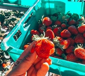 88 days of farm work - Holding a strawberry with tray of strawberries underneath