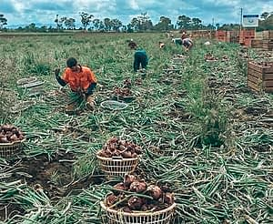 88 days of farm work - onion picking in a field