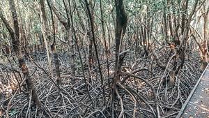 Darwin - Image of visible mangroves along a boardwalk