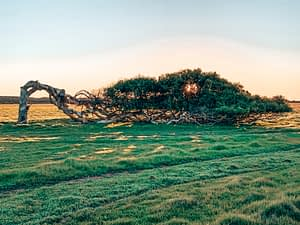 A tree growing perpendicular to the ground. The leaning trees of Greenough, Western Australia