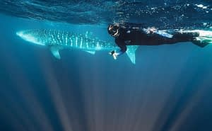 Ningaloo Reef - Person swimming next to a whale shark