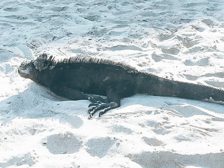 Marine iguana resting on sand