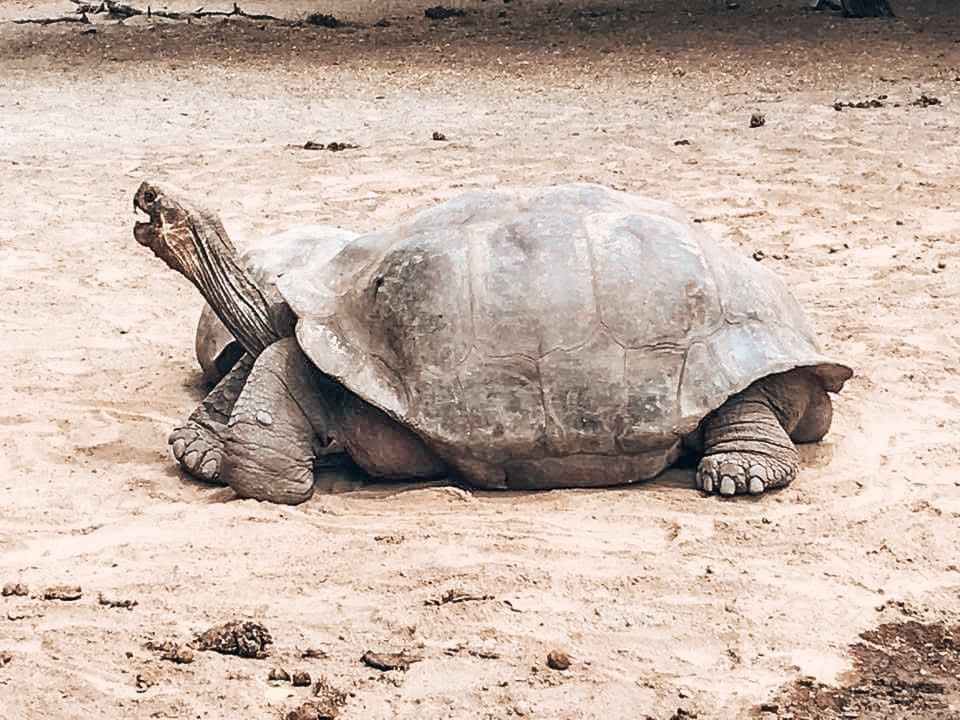 Galapagos Turtle - Quito Travel Blog